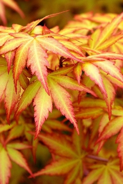 Orange Dream Japanese Maple - 2 Gallon Pot