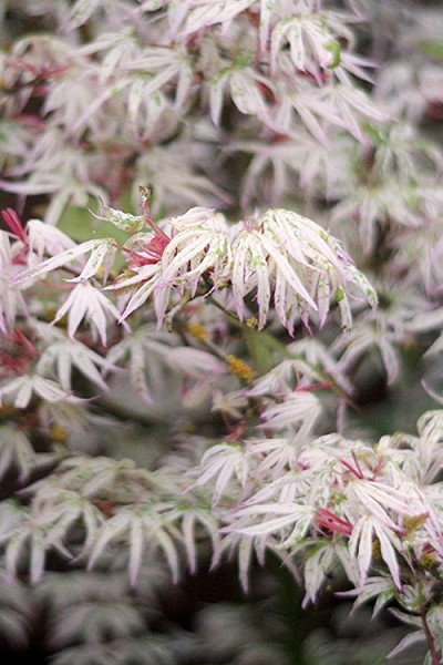 Ukigumo Floating Cloud Ghost Japanese Maple - 5 Gallon Pot