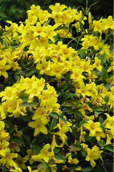 Butterscotch Yellow Jessamine - Jasmine - 3 Gallon Pot