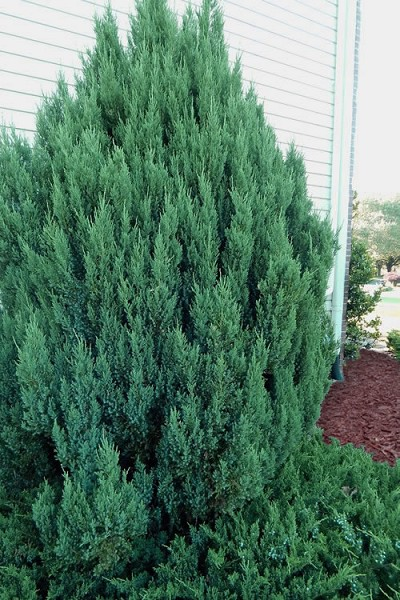 Buy Blue Point Juniper Free Shipping 3 Gallon Size