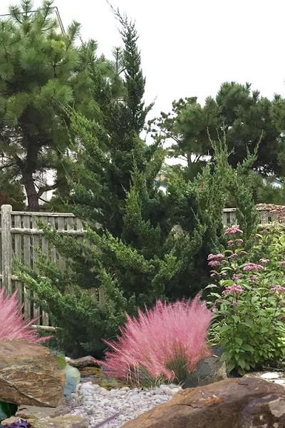 Buy Hollywood Juniper Free Shipping Juniperus