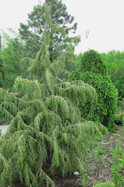 Weeping Temple Juniper - Juniperus rigida 'Pendula' - 3 Gallon Pot