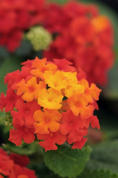 Little Lucky Red Lantana - Quart Pot