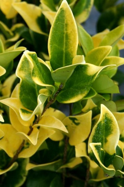 Howardi Golden Ligustrum