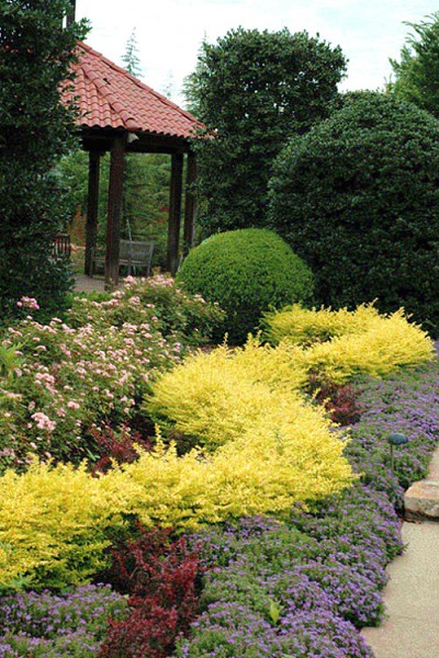 Sunshine Ligustrum - 1 Gallon Pot