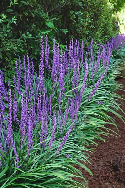Big Blue Lilyturf - Liriope muscari - 18 Count Flat of 4