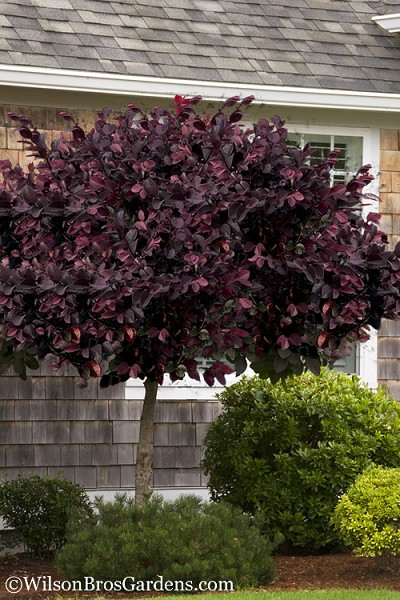Carolina Midnight Loropetalum - Single Trunk Topiary Tree - 5 Gallon Pot