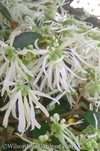 Emerald Snow Loropetalum - Chinese Fringeflower