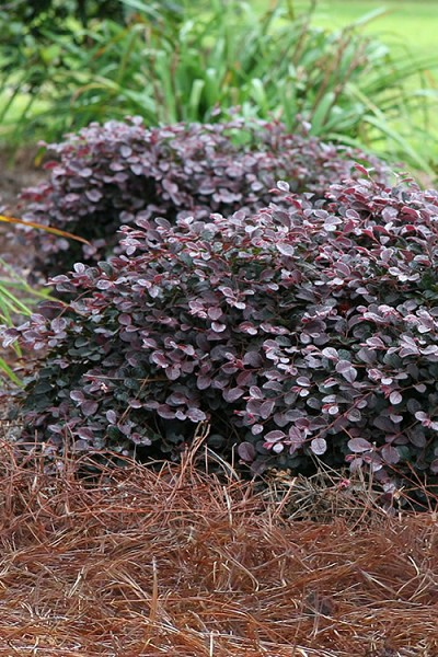 Purple Pixie Loropetalum - 1 Gallon Pot