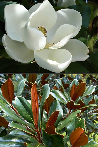 D. D. Blanchard Southern Magnolia