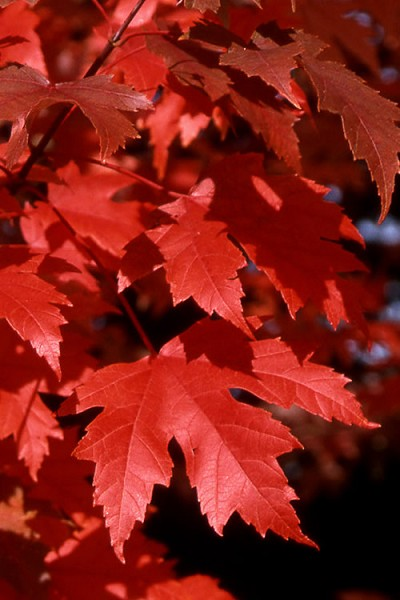 Autumn Blaze Maple - 2 Gallon Pot