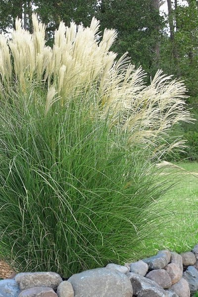 Maiden Grass - Miscanthus sinensis 'Gracillimus' - 6 Pack of 1 Gallon Pots