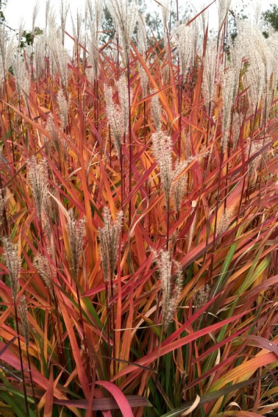 Miscanthus 'Purpurascens' Flame Grass - 1 Gallon Pot