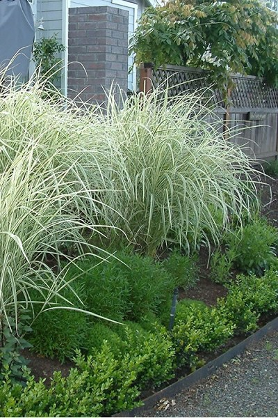 Variegated Maiden Grass - Miscanthus sinensis 'Variegatus' - 1 Gallon Pot