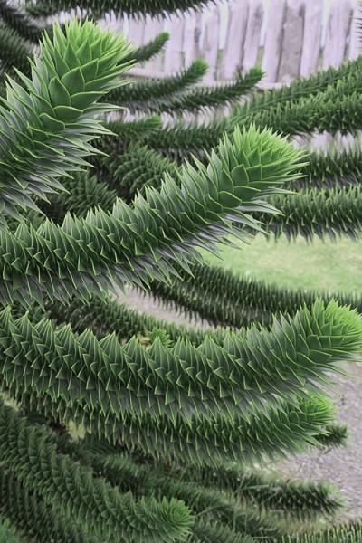 Monkey Puzzle Tree - Araucaria auracana - 1 Gallon Pot