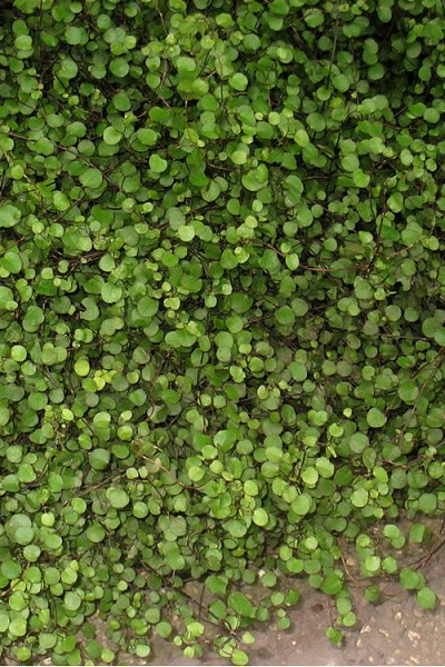 Muehlenbeckia axillaris Nana - Little Leaf Creeping Wire Vine - 10 Count Flat of 4