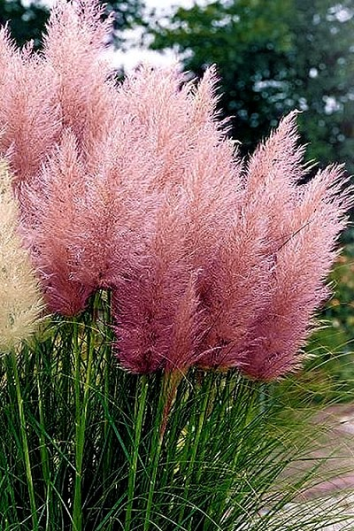 Pink Pampas Grass - 2.5 Quart Pot