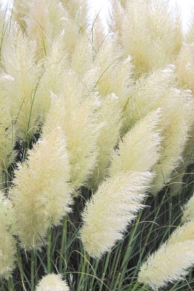 White Pampas Grass - 1 Gallon Pot
