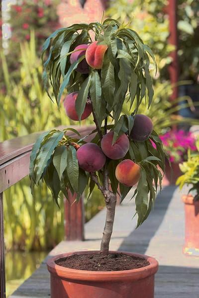Buy Bonanza Dwarf Patio Peach Tree Free Shipping 5
