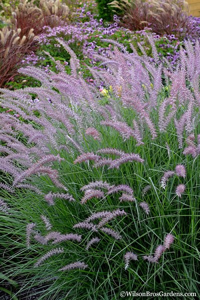 Karley Rose Fountain Grass - Pennisetum orientale - 6 Pack of 1 Gallon Pots