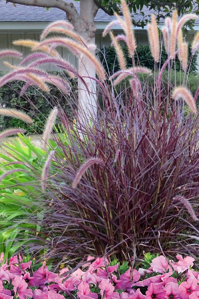 Purple Fountain Grass - Pennisetum Rubrum - 1 Gallon Pot