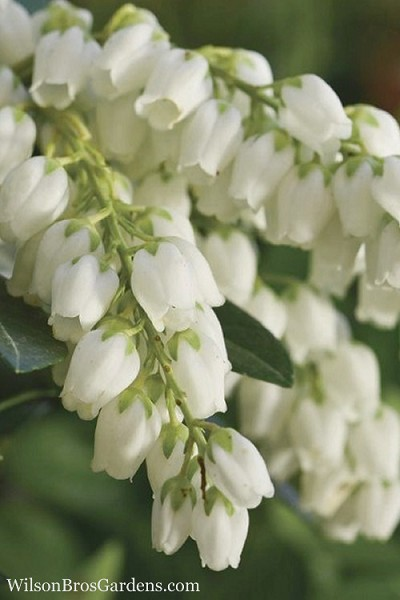 Mountain Snow Pieris - 2 Gallon Pot