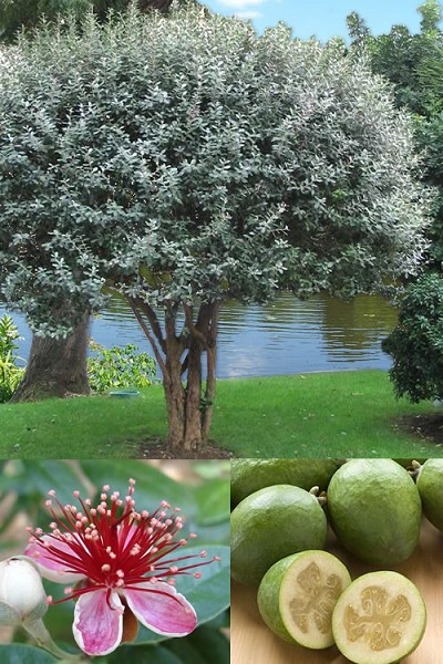Buy Fragrant Pineapple Guava Plants Free Shipping