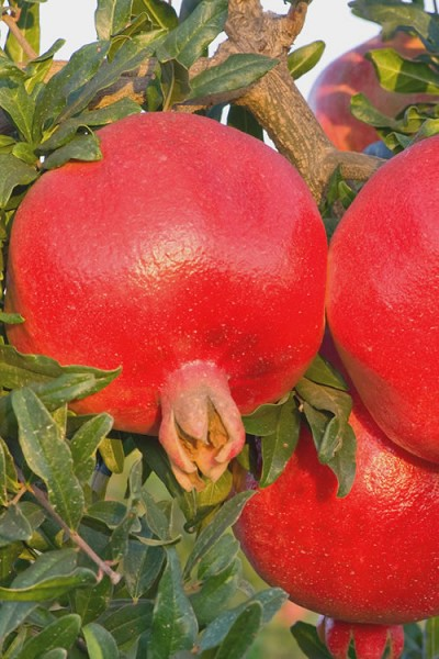 Russian 26 Cold Hardy Pomegranate - 3 Gallon Pot
