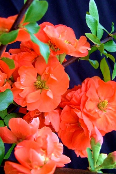 Chojuraku Orange Double Flowering Quince - 3 Gallon Pot