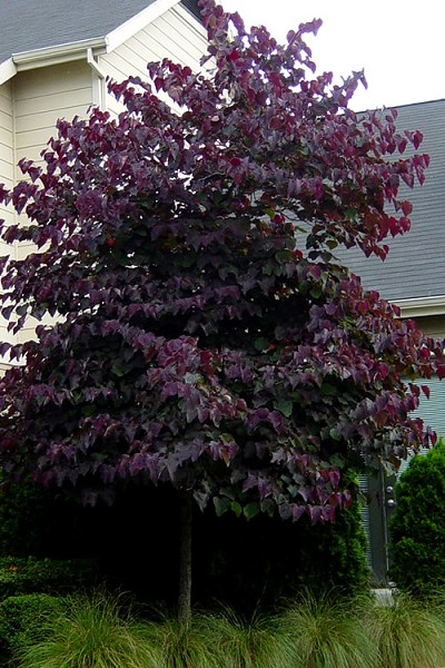 Forest Pansy Purple Leaf Eastern Redbud Tree - 2 Gallon Pot