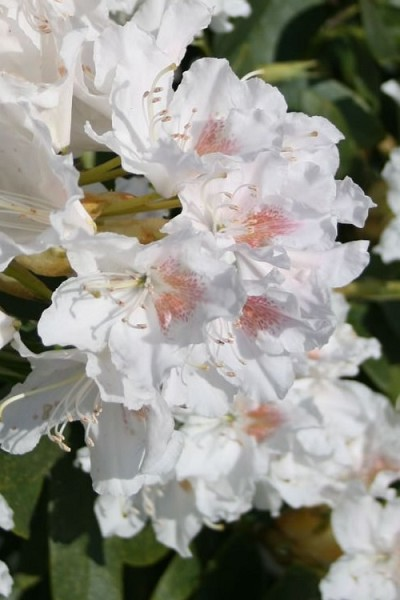 Southgate® Charm™ Rhododendron