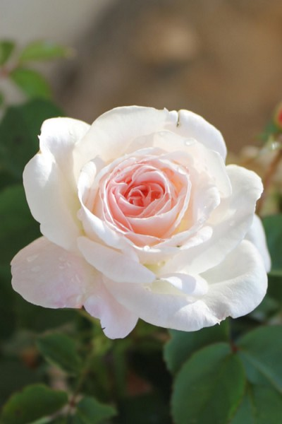 Brindabella Touch of Pink Shrub Rose - 2 Gallon Pot