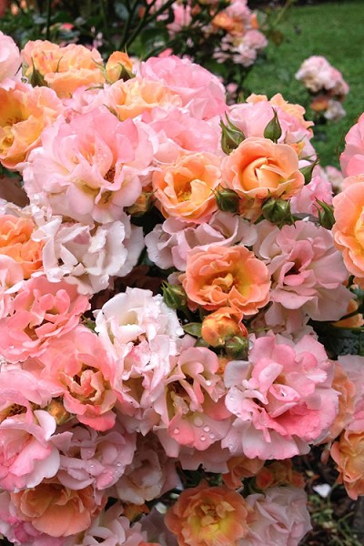 Peach Drift Groundcover Rose - 1 Gallon Pot