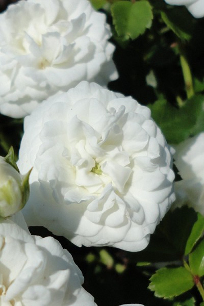 White Drift Rose - 2 Gallon Pot