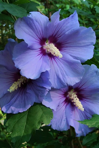 Blue Satin Rose of Sharon - Hibiscus - Althea - 3 Gallon Pot