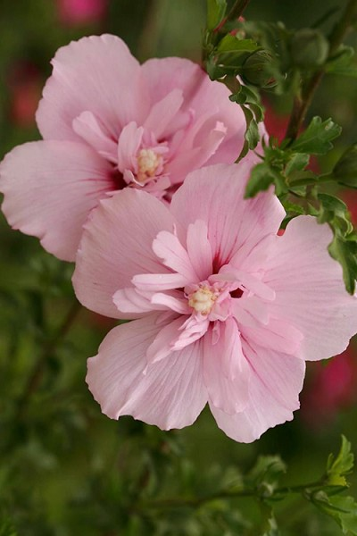 Buy Pink Chiffon Rose Of Sharon Free Shipping Hibiscus
