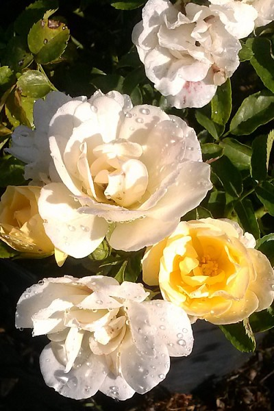 Popcorn Drift Groundcover Rose
