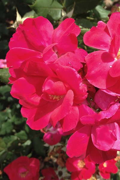 Original Red Knock Out Rose - 2 Gallon Pot
