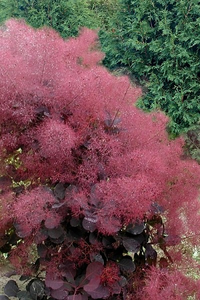 Royal Purple Smoke Tree (Smokebush) - Cotinus coggygria - 3 Gallon Pot