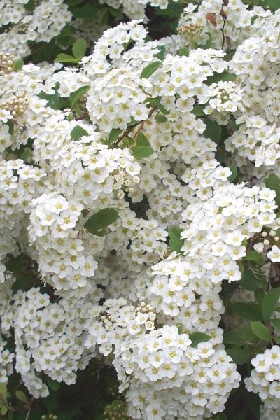Renaissance Bridal Wreath Spirea - 3 Gallon Pot