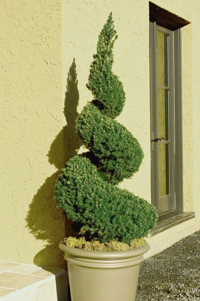 Spiral Dwarf Alberta Spruce Topiary - 5 Gallon Pot