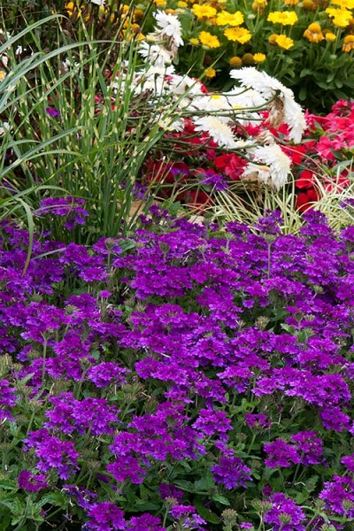 Homestead Purple Hardy Verbena - 10 Pack of Pint Pots