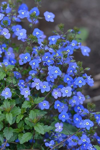 Georgia Blue Veronica umbrosa - 10 Count Flat of 4.33' Quart Pots