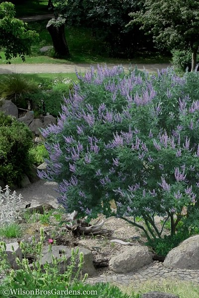 Shoal Creek Chaste Tree (Vitex) - 3 Gallon Pot