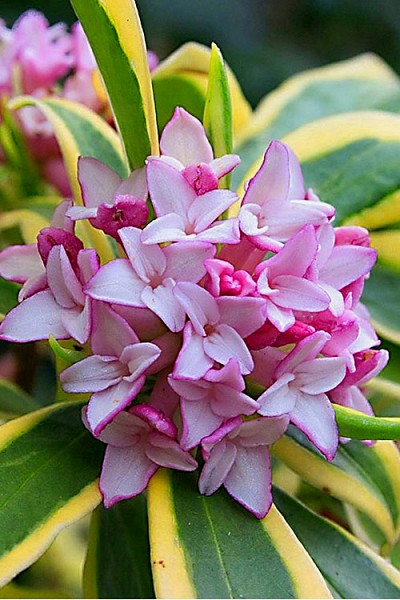 Marianni Variegated Pink Winter Daphne - 1 Gallon Pot