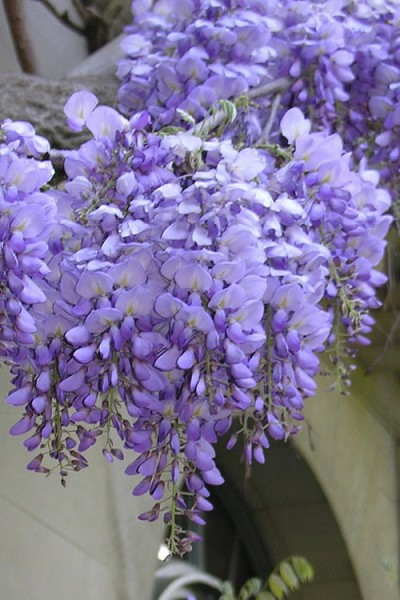 Blue Chinese Wisteria Vine - 3 Gallon Pot