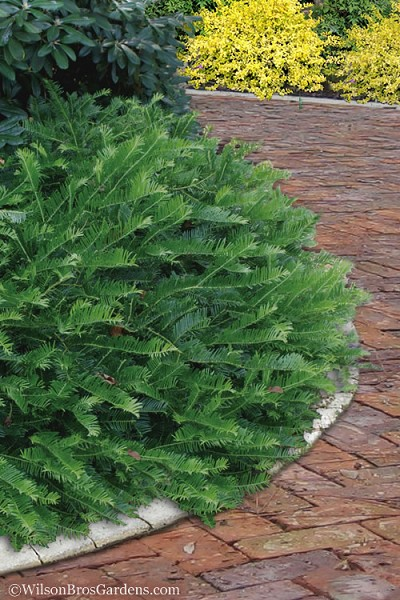 Yewtopia Plum Yew - 3 Gallon Pot