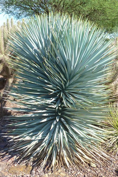 Blue Sentry Yucca - 3 Gallon Pot