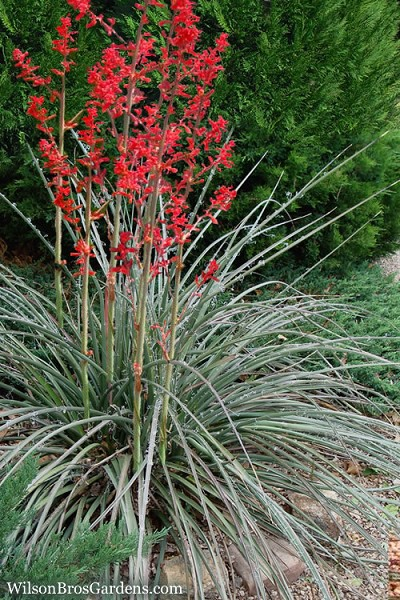 Red Yucca - 3 Gallon Pot