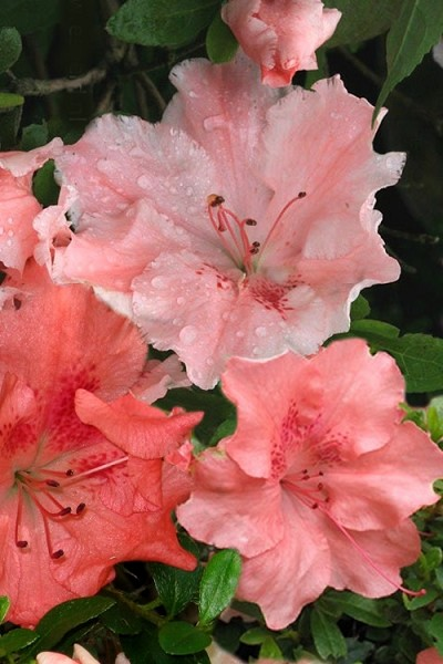 Hilda Niblett Azalea - 1 Gallon Pot